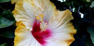 Flores da mola - hibiscus extravagante perto acima foto de stock