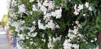 Flores da mola - Jasmine Vine branco imagem de stock