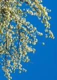 Flores da mola da maçã Árvores de Apple na flor Flores da maçã flores brancas de ascendente próximo de florescência da árvore Blo Foto de Stock Royalty Free
