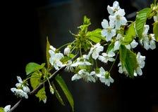 Flores da mola da maçã Árvores de Apple na flor Flores da maçã flores brancas de ascendente próximo de florescência da árvore Blo Fotos de Stock Royalty Free