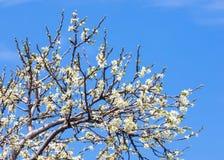 Flores da mola da maçã Árvores de Apple na flor Flores da maçã flores brancas de ascendente próximo de florescência da árvore Blo Imagens de Stock Royalty Free