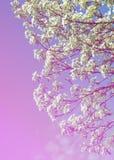 Flores da mola da maçã Árvores de Apple na flor Flores da maçã flores brancas de ascendente próximo de florescência da árvore Blo Foto de Stock