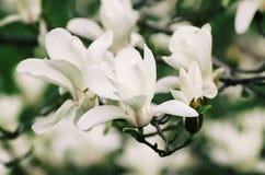 Flores da mola da magnólia Imagens de Stock