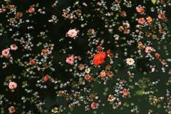 Flores da mola na água Imagem de Stock Royalty Free