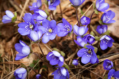 Flores da mola na floresta imagem de stock royalty free