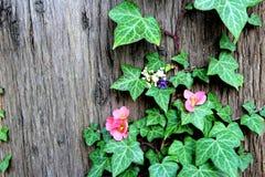 Flores da mola na hera da árvore imagem de stock royalty free