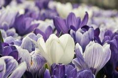 Flores da mola na luz solar Fotos de Stock Royalty Free