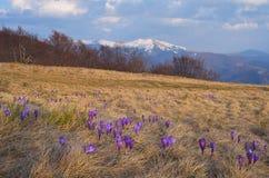 Flores da mola nas montanhas Imagens de Stock