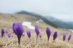 Flores da mola nas montanhas Foto de Stock