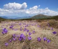 Flores da mola nas montanhas Fotografia de Stock