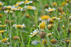 Flores da mola no campo Imagens de Stock Royalty Free