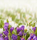 Flores da mola no fundo borrado Foto de Stock