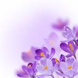 Flores da mola no fundo branco Fotografia de Stock Royalty Free