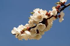Flores da mola no ramo do abricó Flor da mola de apric Fotografia de Stock