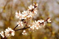 Flores da mola no ramo do abricó Flor da mola de apric Imagens de Stock Royalty Free