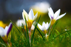 Flores da mola no sol Imagens de Stock Royalty Free