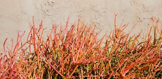 Flores da mola - planta da vara do fogo fotos de stock royalty free