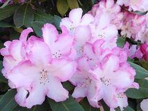 Flores da mola Rododendros cor-de-rosa e brancos bonitos na flor completa Fotos de Stock Royalty Free