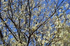 Flores da mola: salgueiro de florescência Imagens de Stock Royalty Free