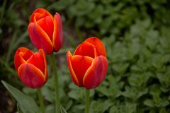 Flores da mola - tulipas Fotografia de Stock Royalty Free