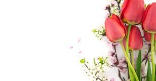 Flores da mola, tulipas vermelhas e ramos de florescência isolados Fotografia de Stock Royalty Free