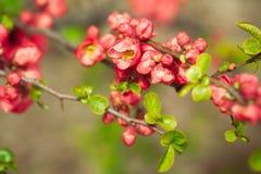 Flores da mola vermelha fotografia de stock royalty free