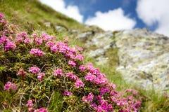 Flores da montanha Foto de Stock Royalty Free