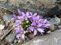 Flores da montanha entre pedras em montanhas de Rila imagens de stock