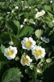 Flores da morango Fotografia de Stock
