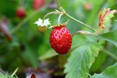 Flores da morango na baga do vermelho do jardim Imagem de Stock Royalty Free