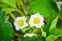 Flores da morango na mola Imagem de Stock Royalty Free