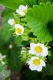Flores da morango na mola Fotos de Stock Royalty Free