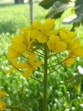 Flores da mostarda Fotografia de Stock