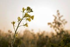 Flores da mostarda, gotas de orvalho e nascer do sol Imagem de Stock