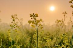 Flores da mostarda, gotas de orvalho e nascer do sol Imagens de Stock Royalty Free