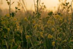 Flores da mostarda, gotas de orvalho e nascer do sol Foto de Stock Royalty Free