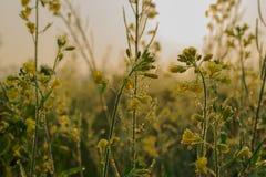 Flores da mostarda, gotas de orvalho e nascer do sol Imagem de Stock Royalty Free