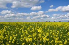 Flores da mostarda, nuvens brancas Imagem de Stock