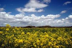 Flores da mostarda, nuvens brancas Imagem de Stock Royalty Free
