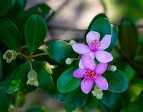 Flores da murta de Rosa no jardim botânico imagem de stock