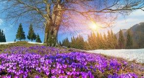 Flores da neve - açafrões Fotografia de Stock