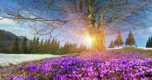 Flores da neve - açafrões Imagens de Stock