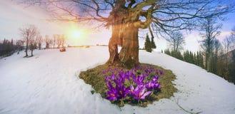 Flores da neve - açafrões Imagem de Stock