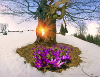 Flores da neve - açafrões Imagens de Stock Royalty Free
