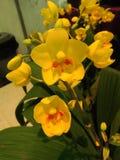 Flores da orquídea do Dendrobium Foto de Stock