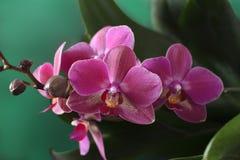 Flores da orquídea do phalaenopsis Imagens de Stock Royalty Free