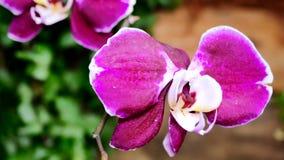 flores da orquídea do rosa do close-up 4K Flores bonitas da orquídea no movimento Usando o slider filme