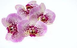Flores da orquídea e haste verde isoladas no fundo branco Fotos de Stock