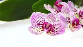 Flores da orquídea e haste verde no fundo branco Imagens de Stock Royalty Free