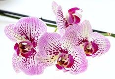Flores da orquídea e haste verde no fundo branco Fotografia de Stock
